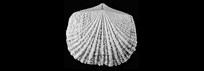 Glyptorthis, one of the species of brachiopods studied. Image: David Wright.