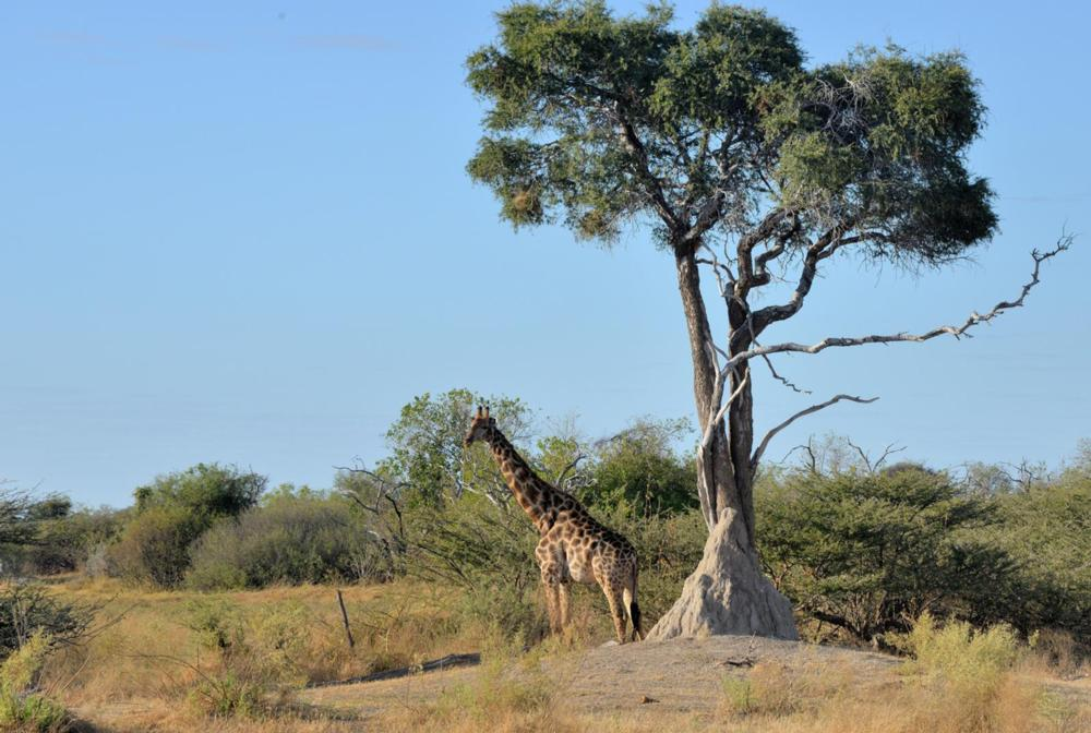 A giraffe standing beside a tree